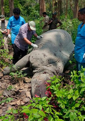 The world's rhinos are under siege for their horn. Here, an Indian rhino was killed by poachers for its horn in Kaziranga National Park in Nagaon district of Assam state, India, 14 April 2016.