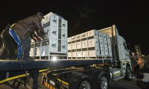 The lions' crates are loaded on to a lorry prior to their transportation to a sanctuary.