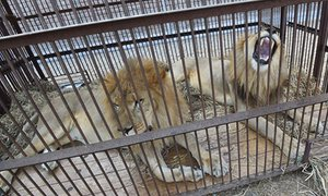 Some of the lions pictured in Lima, before their airlift.