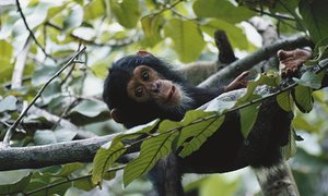 The chimpanzee was the original inspiration for the idea of a World Heritage Species programme. But proponents of the idea say many species could fall under the umbrella over time. Here, a young chimp relaxes in Gombe Stream National Park, Tanzania.