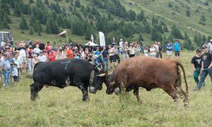Ring my bell: the Combat des Reines or cow fight – a traditional Swiss event. These are rare Herens cattle.