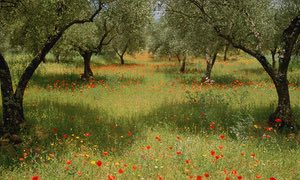 Poppies adorn an olive grove in Caceres, Spain.