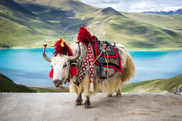 yaks-enjoying-the-freedom-that-this-time-of-the-year-offers