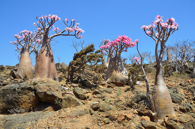 Bottle tree (desert rose - adenium obesum) on the island of Socotra in Yemen