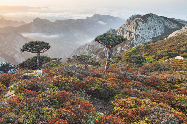 Dragon trees with Socotra mountains background
