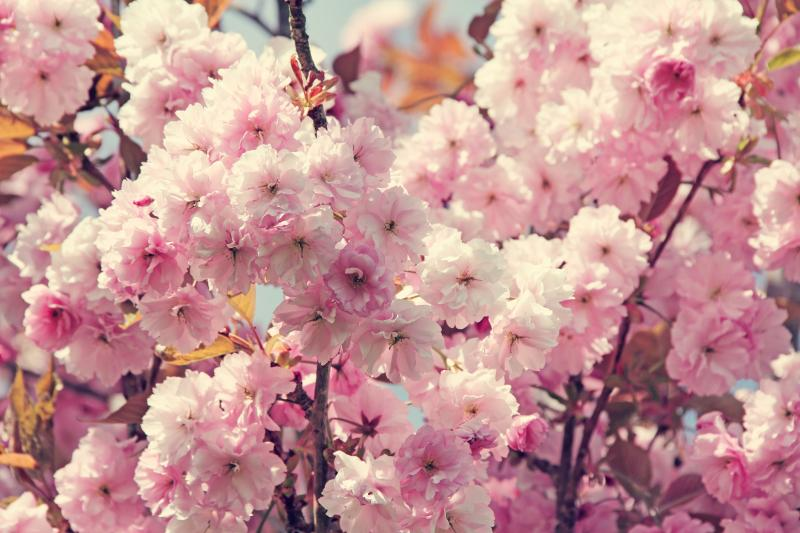 Best Tourist Destination Enjoy Cherry Blossoms In Korea World