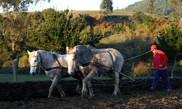 Young Chilean man using a team of horses to plow a field in Cobquecura
